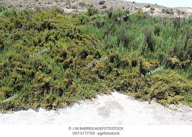 Glasswort, saltwort or samphire (Sarcocornia fruticosa, Salicornia fruticosa or Arthrocnemum fruticosum) is an halophyte shrub native to Mediterranean Basin...