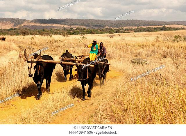 men, man, local, locals, zebu, zebus, zebu cart, cart, cattle, oxcart, traditional, tradition, Madagascar, Africa, island, wagon