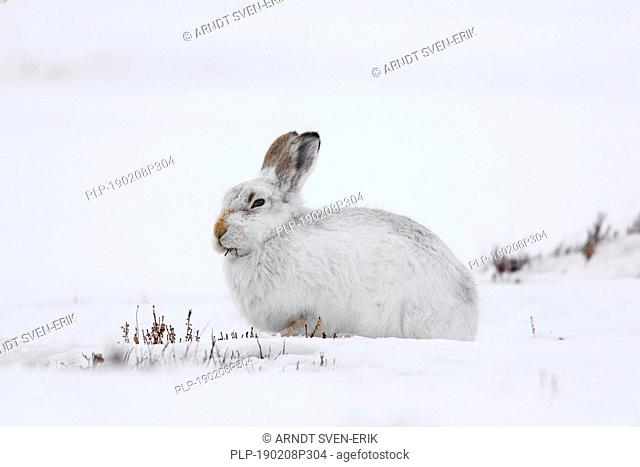 Mountain hare / Alpine hare / snow hare (Lepus timidus) in white winter pelage eating twigs in the Scottish Highlands, Scotland, UK