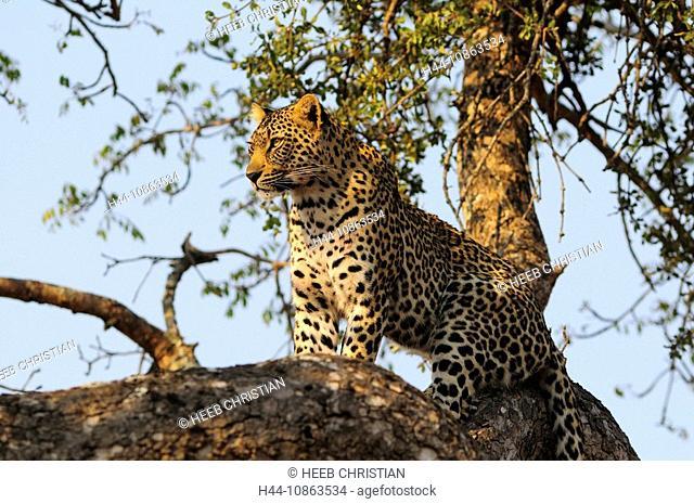 Leopard, Panthera pardus, Ulusaba Sir Richard Branson's Private Game Reserve, Sabi Sands Game Reserve, Mpumalanga, South Africa, tree, cat