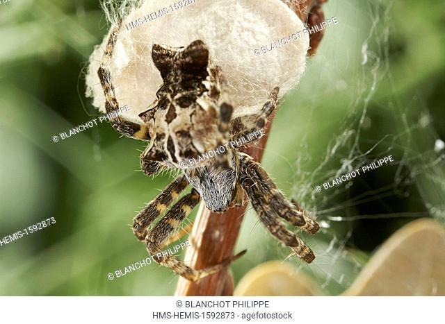 Portugal, Alentejo, Arraiolos, Araneae, Araneidae, Tent-Web Spider (Cyrtophora citricola), female protecting its cocoon
