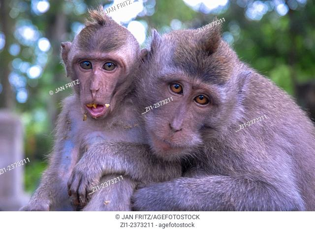 macaca monkey with young at Bali, Indonesia