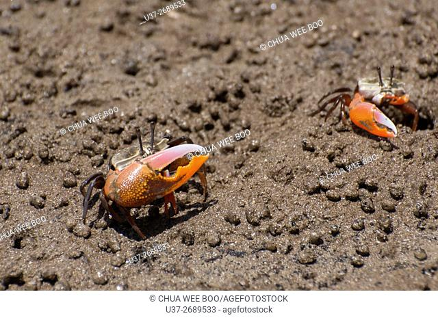 Small Crabs. Image taken at Bako National Parks, Sarawak, Malaysia