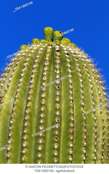 Detail of Giant Saguaro Carnegiea gigantea, Saguaro National Park, Sonora Desert, Arizona, Tucson, USA