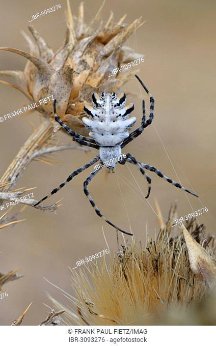 Orb Web Spider (Argiope lobata), adult female