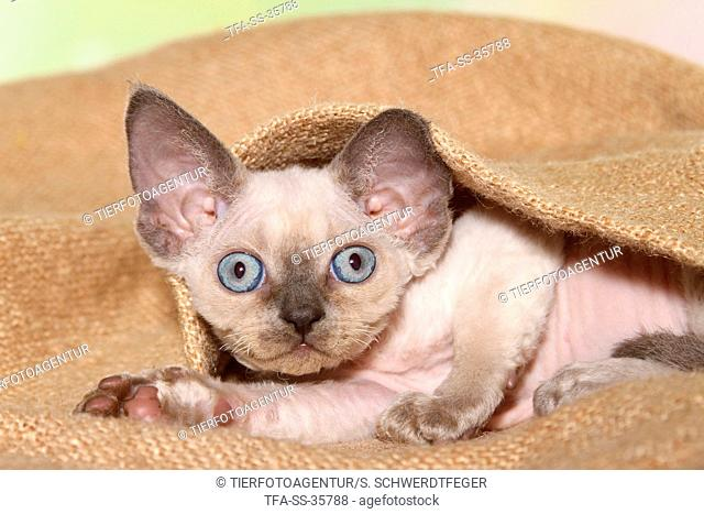 lying Devon Rex kitten