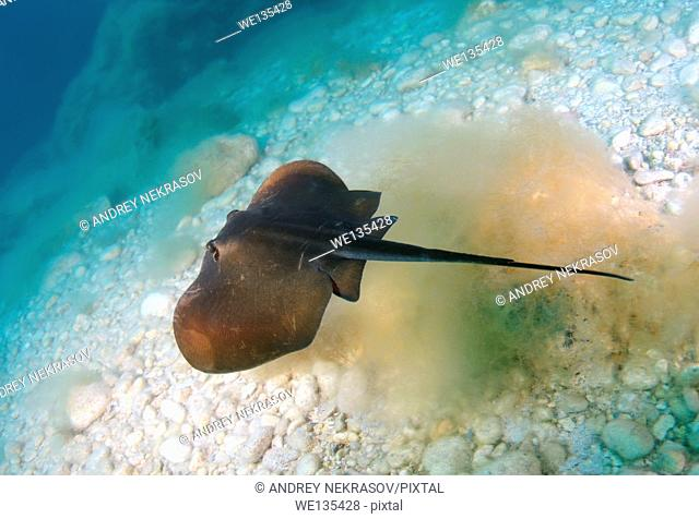 common stingray (Dasyatis pastinaca) Black Sea, Crimea, Ukraine, Eastern Europe