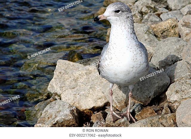 Ring-billed Gull Larus delawarensis