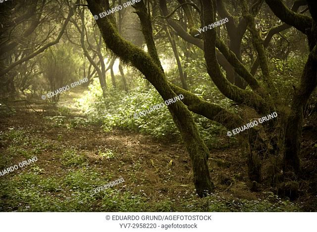 Forest of Laurisilva. El Hierro, Canary Islands, Spain
