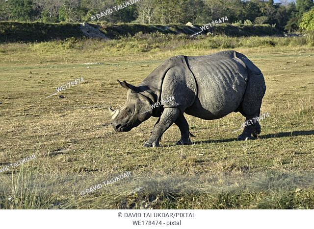 one horned rhino grazing in a park