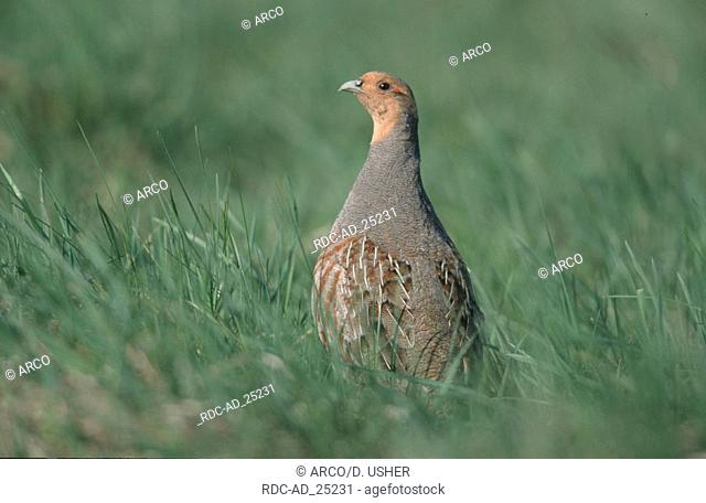 Grey Partridge male Austria Perdix perdix