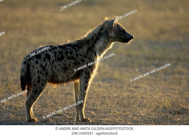 Spotted Hyena (Crocuta crocuta) standing in early morning light at savanna, Serengeti national park, Tanzania