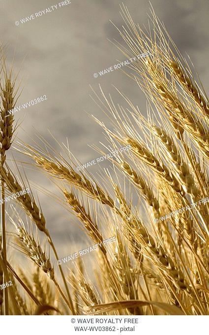 Stalks of wheat, Saskatchewan, Canada