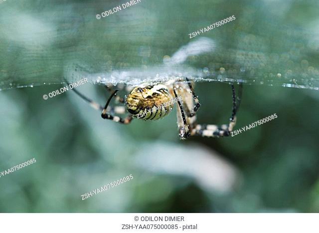 Yellow Garden Spider argiope aurantia, low angle view