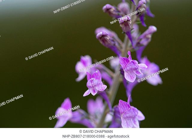 Purple Toadflax, Linaria purpurea, UK
