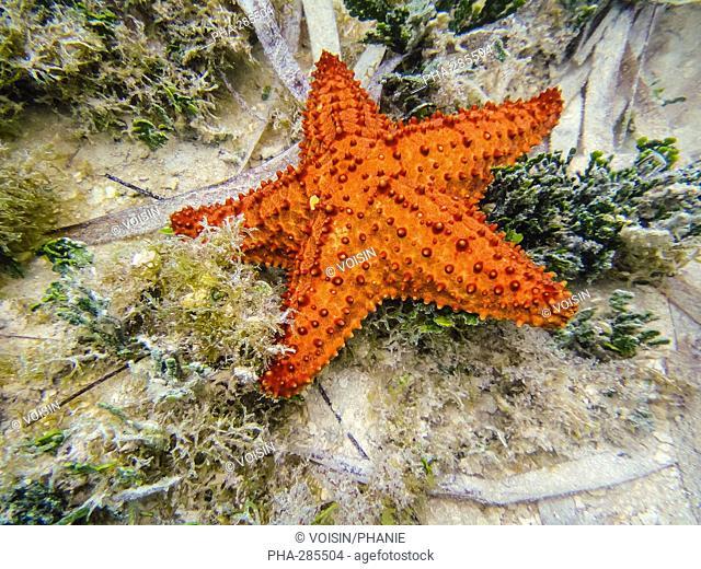 Red starfish (Asteroidea)