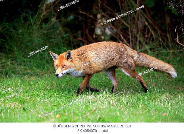 Red Fox (Vulpes vulpes), adult, alert, stalking, Surrey, England, United Kingdom