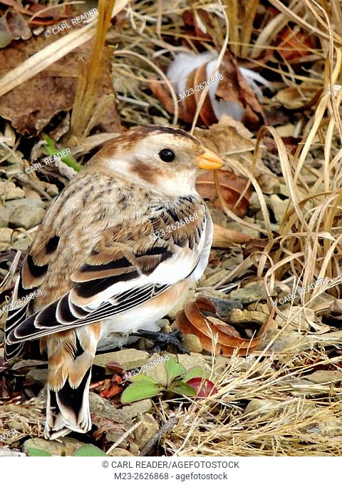 A close-up of a snow bunting, Plectrophenax nivalis, on the ground, Pennsylvania, USA