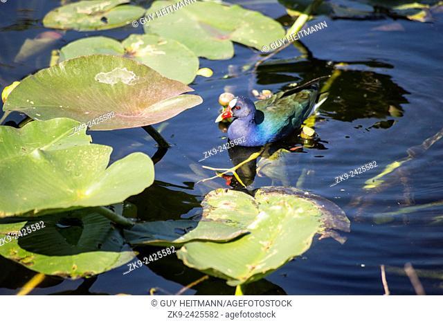 Purple Gallinule, Everglades NP, Florida, USA