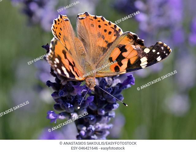 Painted Lady (Vanessa cardui), Greece