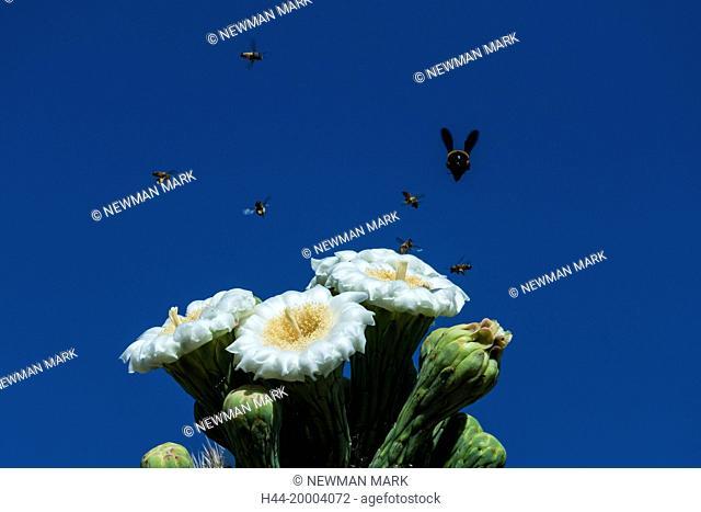 bees flying around saguaro cactus flower
