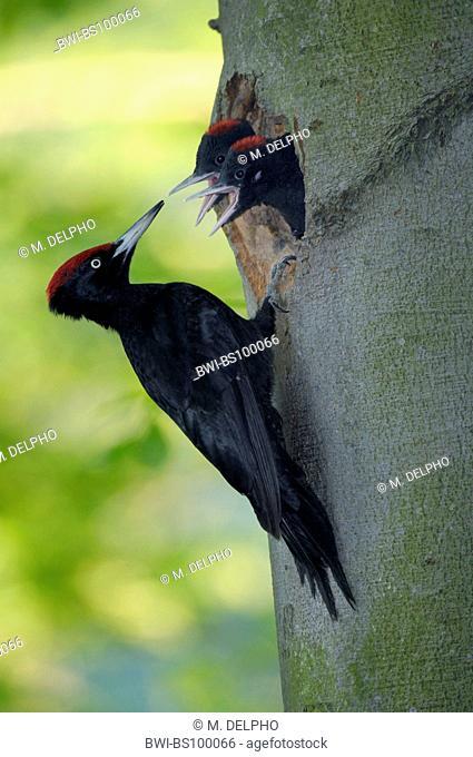 black woodpecker (Dryocopus martius), feeding of juvenile, Germany, Thueringen