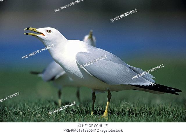 Ring-billed Gull, courtship , Larus delawarensis