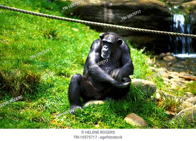 Taronga Zoo Sydney NSW Australia Chimpanzee