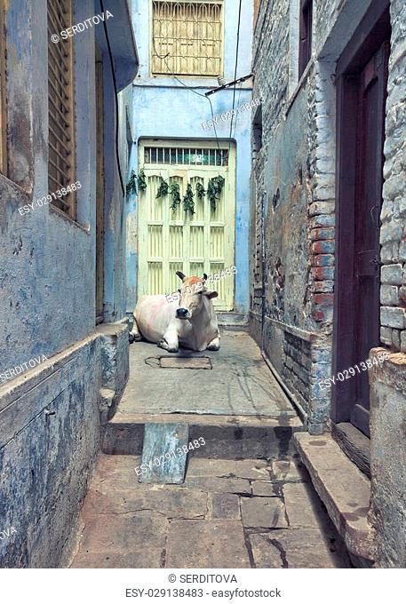 Streets of Varanasi, holy cow in narrow passage, India