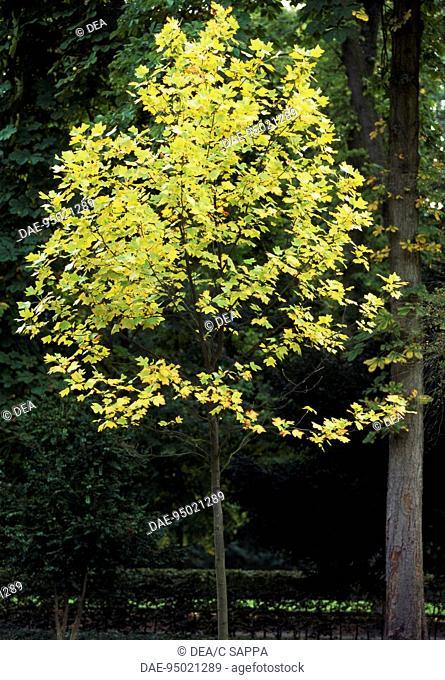 Tulip Tree (Liriodendron tulipifera), Magnoliaceae