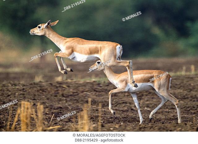 Asia,India,Madhya Pradesh,Satpura tiger reserve,Blackbuck (Antilope cervicapra),female