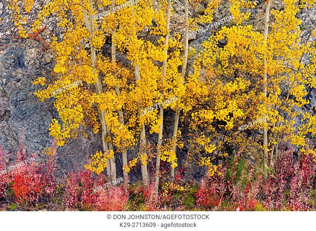 Autumn aspens and fireweed at the base of a rock outcrop, Yellowknife, Northwest Territories, Canada