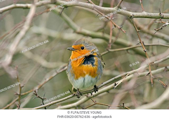 European Robin Erithacus rubecula adult, with windblown feathers, perched on twig, Merseyside, England, february