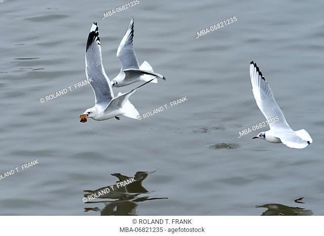 Germany, black-headed gulls (Larus ridibundus) argue about food
