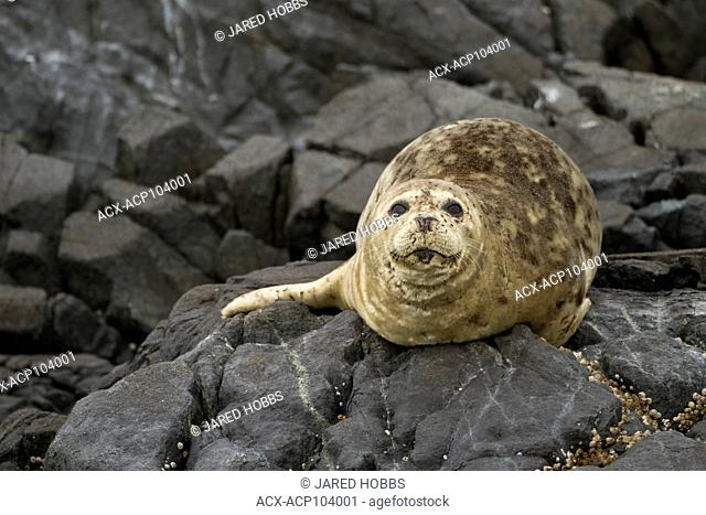 Harbour Seal, Phoca vitulina, Race Rocks, Near Victoria, British Columbia, Canada
