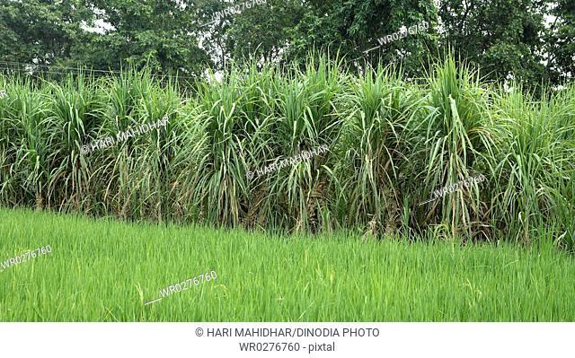 Sugarcane field at Saharpur district , Uttar Pradesh , India