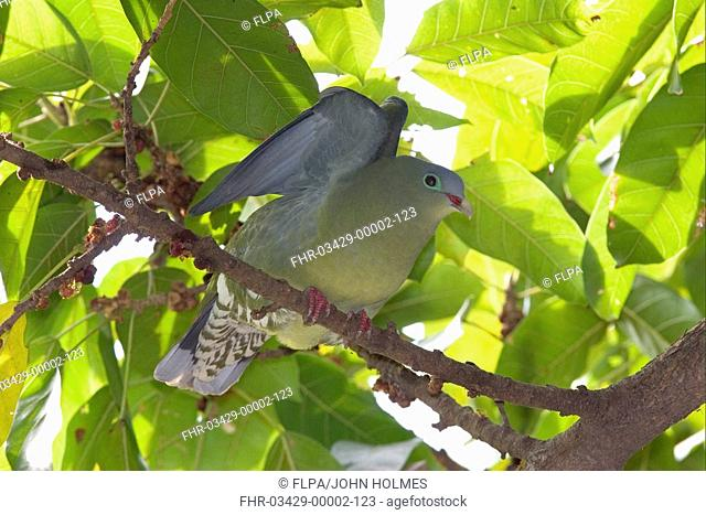 Thick-billed Green-pigeon Treron curvirostra Stretching in fig tree - New Territories, Hong Kong, China