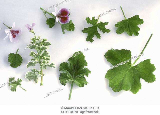Scented Geranium (Pelargonium) various leaves & flowers