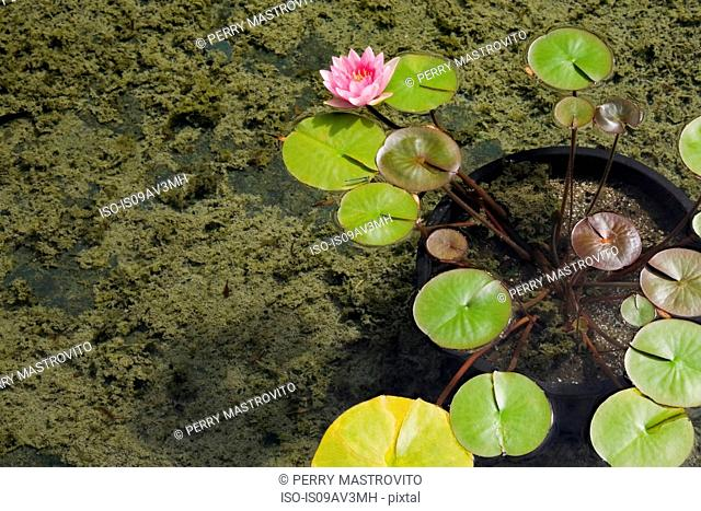 Pink and yellow water lily flower (Nymphaea) growing in black plastic container submerged on the bottom of a man-made pond covered with green algae...