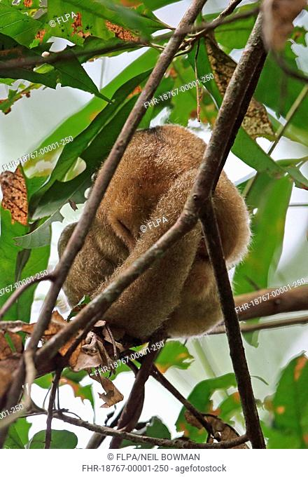 Silky Anteater (Cyclopes didactylus dorsalis) adult, sleeping in tree during daytime, Canopy Tower, Panama, November