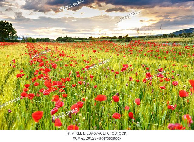 Poppies on a cereal field. Ancin, Navarre, Spain