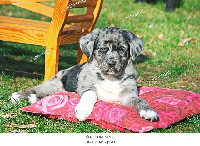 half breed dog Australian Shepherd - puppy lying on meadow
