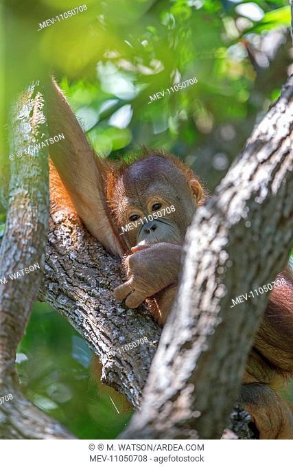Northeast Bornean Orangutan / Orang Utan young Sepilok Orang Utan Rehabilitation Center, Sandakan, Sabah, Malaysia, Borneo, Asia