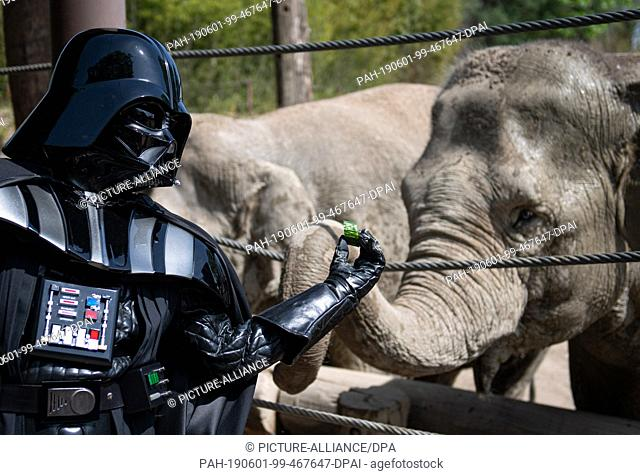 "01 June 2019, North Rhine-Westphalia, Münster: """"Darth Vader"""" Uwe feeds elephant """"Kanaudi"""" with a piece of cucumber at the all-weather zoo"