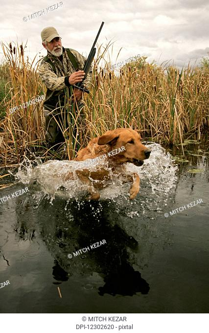 Waterfowl Hunter At Water's Edge And Lab Retrieving
