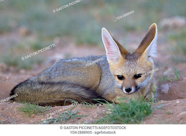 Cape Fox (Vulpes chama), Kgalagadi Transfrontier Park, Kalahari desert, South Africa