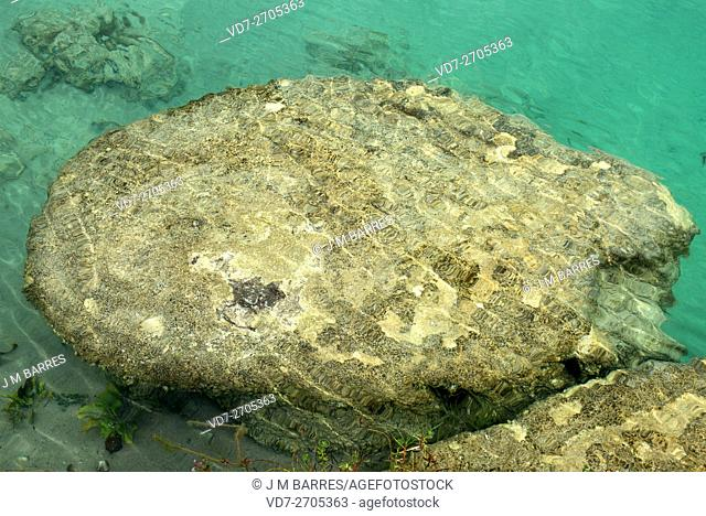 Live stromatolites in Bacalar Lake, Yucatan, Mexico. Stromatolites are sedimentary structures formed by the activity of photosyntetic cyanobacteria...