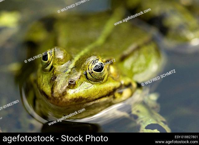 Frosch Portrait