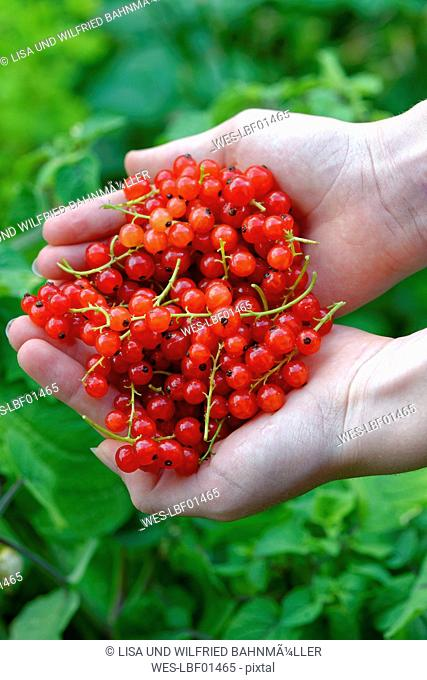 Hands of teenage girl holding red currants