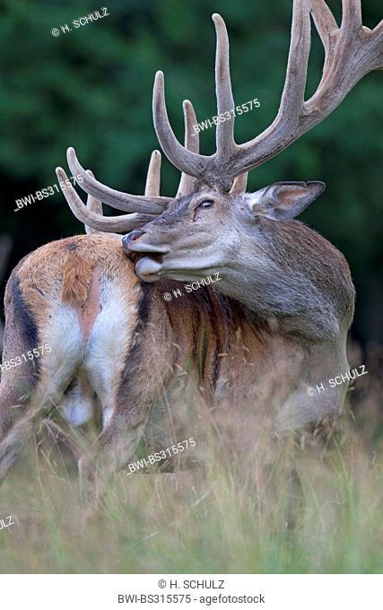 red deer (Cervus elaphus), stag with velvet antler, Denmark, Jylland